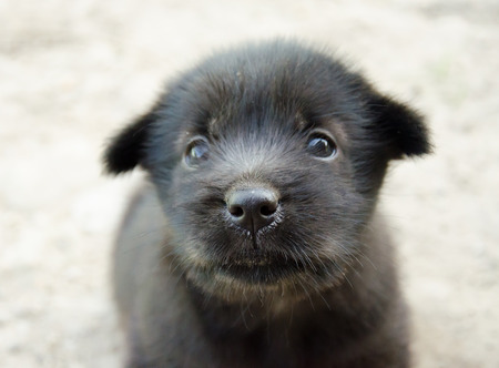 Cute black puppy dog looking camera photo