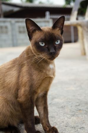 snazzy: Siamese Cat,Burmese