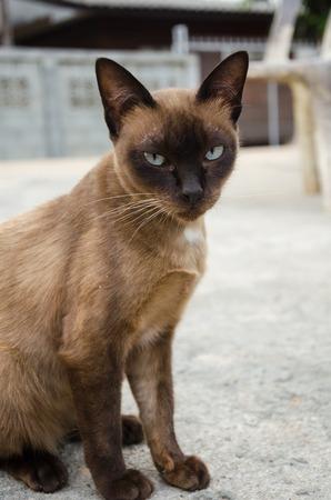 Siamese Cat,Burmese