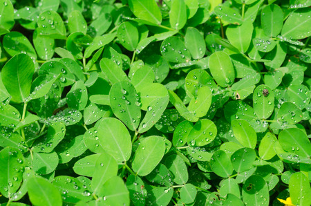 ground nuts: pinto peanut leaves and water drops