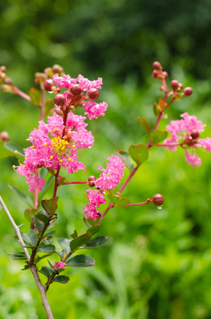 Crape myrtle flower photo