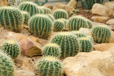 Golden Barrel Cactus photo