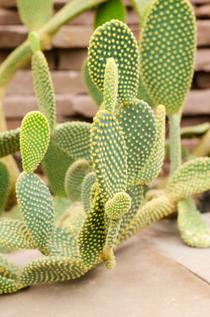 Opuntia rufida cactaceae photo