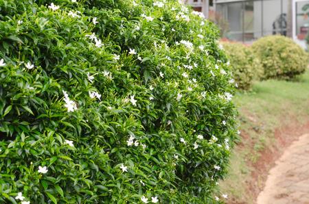 jessamine: Orang Jessamine fiore nel giardino
