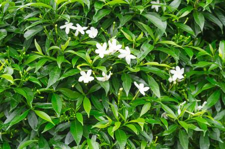 jessamine: Orang Jessamine fiore