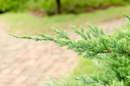 Juniperus leaves Stock Photo