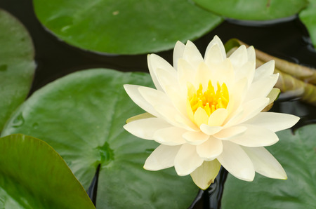 nymphaea: Beauty of Water Lily in the pond