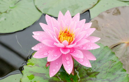 Beauty of Water Lily in the pond photo