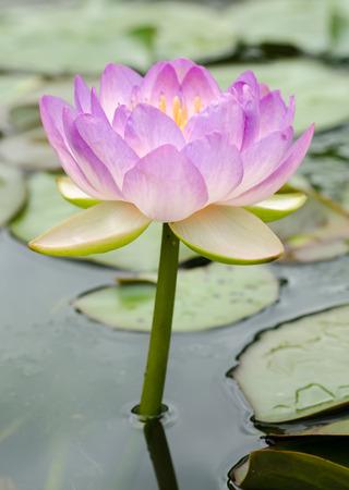 Schoonheid van de Waterlelie in de vijver