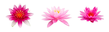 Lotus isolated photo