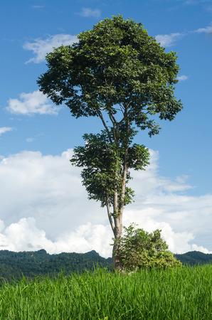 tall tree on mountain blue sky photo