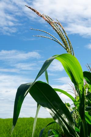corn flower: corn flower in corn field on mountain in clear day