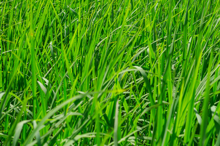 green grass meadow background in the afternoon sunlight photo