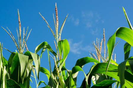 corn flower in corn field with clear sky in the afternoon sunlight photo