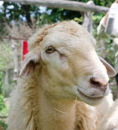 Close up of sheep face in garden photo
