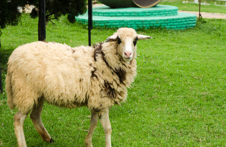 Sheep in a field of green grass on the farm photo