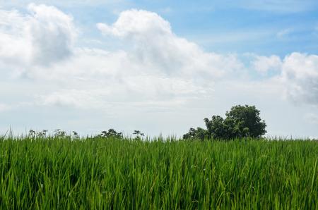 green rice fields in farmland on mountain Thailand photo