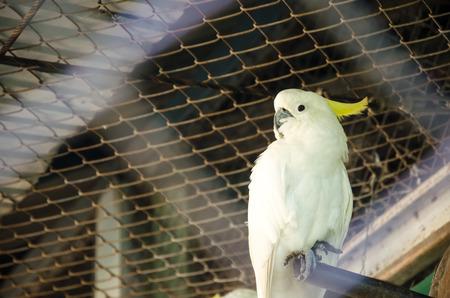 Cockatoo bird (Cacatua galerita)