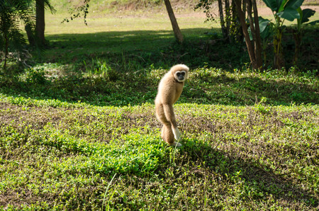 handed gibbon: White handed gibbon (Hylobates lar) Stock Photo