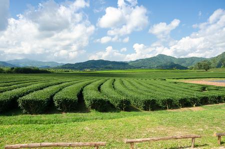 tea plantation at Singha Park,Chiang Rai Thailand photo