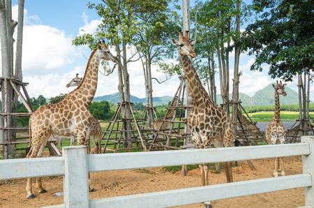 Giraffe in zoo photo
