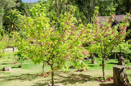 sakura arbol: �rbol de Sakura, flor de cerezo, cereza floreciente japon�s en el jard�n en Doi Ang Khang Tailandia Foto de archivo