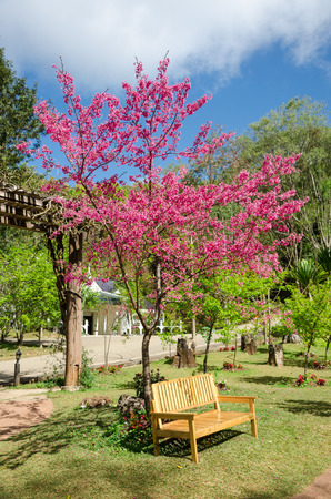living organisms: Beautiful pink flower of Sakura, Cherry blossom, Japanese flowering cherry in garden at Doi Ang Khang Thailand