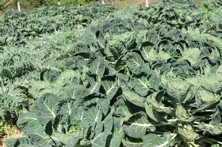 organic vegetables in farm photo