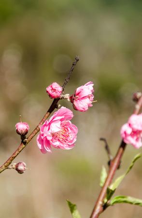 Beautiful pink flower of Sakura, Cherry blossom, Japanese flowering cherry in garden at Doi Ang Khang Thailand photo