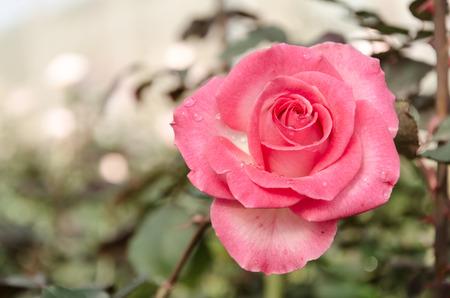 pink rose flower in garden photo
