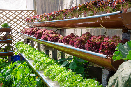 red lettuce and green lettuce at cultivation hydroponics farm Standard-Bild