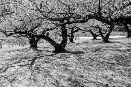 black and white image for terrifying mystery concept of tree tunnel and tree shadow in forest photo