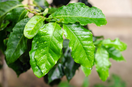 raindrops on green leaves after rain fall photo