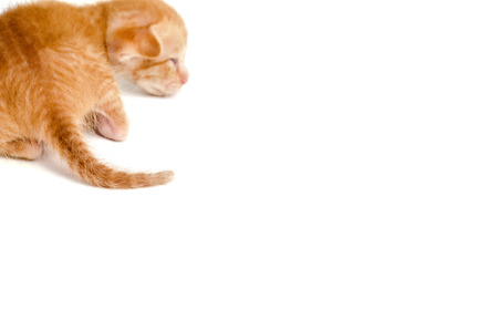 ritzy: The back of kitty orange cat on white background