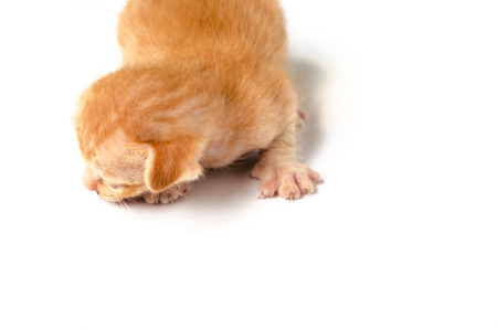 ritzy: Little Orange kitten on white isolated