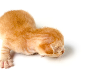 ritzy: Little Orange kitten