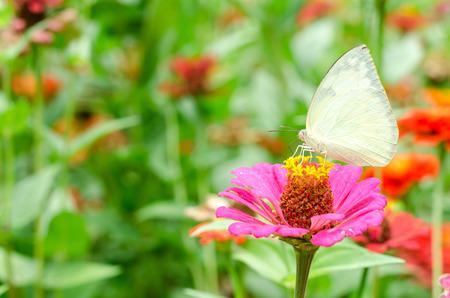 everybody: Butterflies pollinate Zinnia flower in outdoor garden