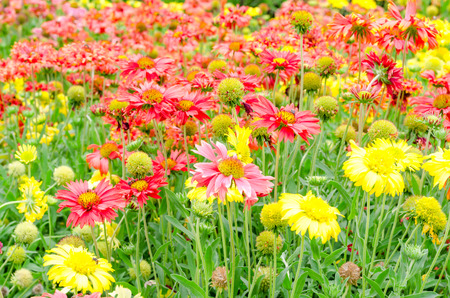 fanfare: colorful Gaillardia or blanket flowers in the garden