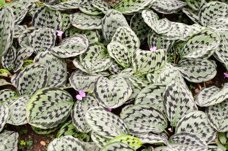variegated: Variegated plant leaves Stock Photo