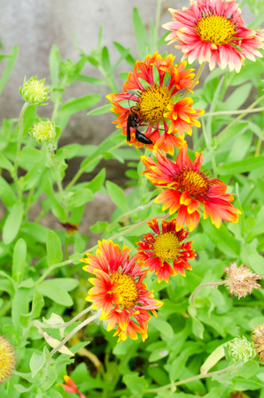 obtain: Gaillardia or blanket flowers and wasp visit flowers to obtain nectar
