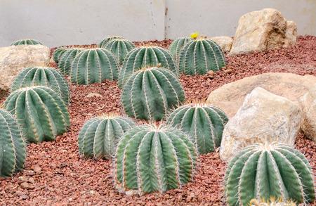Ferocactus schwarzii Lindsay,cactus Stock Photo