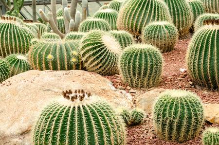 Golden Barrel Cactus plant
