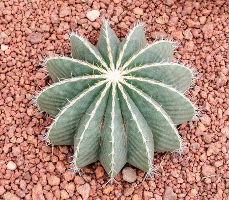 lindsay: Ferocactus schwarzii Lindsay,cactus Stock Photo