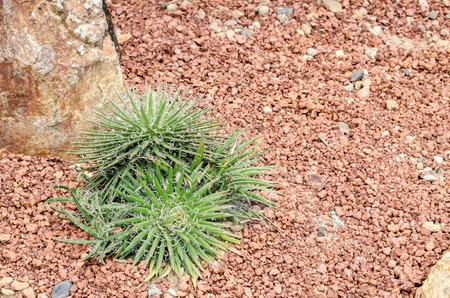 agave: Planta de Agave filifera