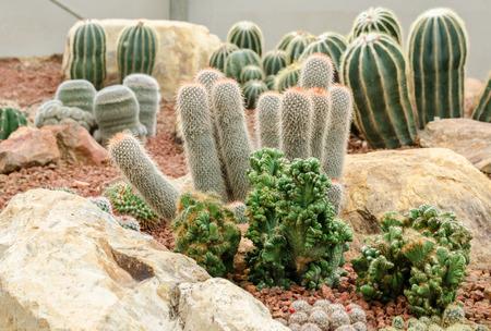 desierto: plantas del desierto (cactus) Foto de archivo