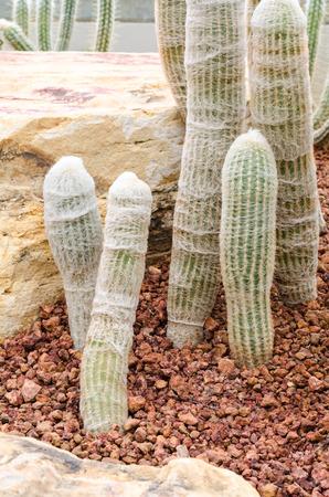 hairy pear: Cephalocereus senilis cactus (Old Man Cactus) Stock Photo