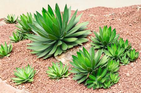 agave: planta de agave