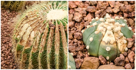 fungal disease: Cactus is a fungal disease,Rust cactus