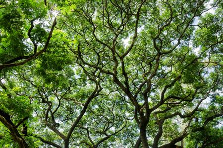 grote boom en takken van de boom boven het hoofd