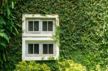 climbing fig: old white window with green ivy climbing fig